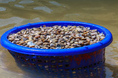Fresh clams Royalty Free Stock Images