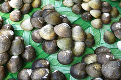 Fresh Clams Stock Photos