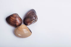 Fresh clams on white background Stock Photography