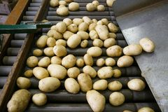 Fresh, cleaned and sorted potatoes on a conveyor belt Stock Images