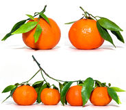 Fresh Clementines. Fresh harvested clementines with leaves and branch isolated on white Stock Photo