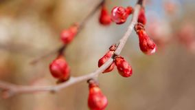 Fresh closed buds on branch of apple tree. Selective focus. stock video footage