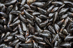 Fresh closed mussels Stock Images
