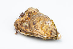 The fresh closed oyster. On a white background Royalty Free Stock Photos