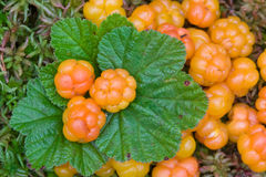 Fresh cloudberry Stock Images