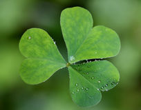 Fresh clover Stock Images