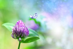 Fresh Clover Flower In Nature, Butterfly Flies To A Flower Stock Photos