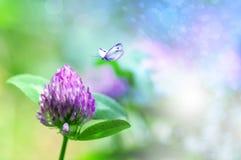Fresh clover flower in nature, butterfly flies to a flower