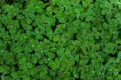 Fresh clover grass. Just watered fresh clover grass closeup detail Stock Photos