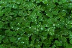Fresh clover grass. Just watered fresh clover grass closeup detail Stock Photo