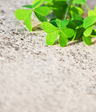 Fresh clover leaves over stone background Stock Image