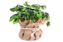Fresh clover Stock Photos