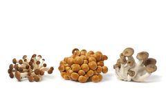 Fresh clusters of Beech mushrooms Royalty Free Stock Images