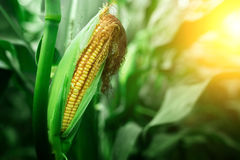 Fresh cob of ripe corn on green field at the sunset Stock Photo