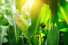 Fresh cob of ripe corn on green field at the sunset Royalty Free Stock Image