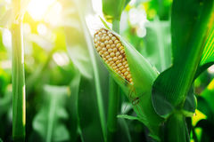 Fresh cob of ripe corn on green field at sunset Royalty Free Stock Photography