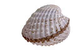 Fresh Cockle Royalty Free Stock Image