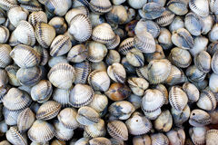 A fresh cockles Stock Image