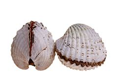 Fresh cockles Royalty Free Stock Photos