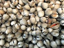 Fresh cockles (bivalve) in market. A cockle is a small, edible, saltwater clam, a marine bivalve mollusc and has quite tough texture when chewed. The one on this Stock Image