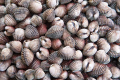 A fresh cockles Stock Photography