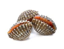Fresh cockles seafood on white. Background Royalty Free Stock Image