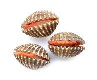 Fresh cockles seafood on white. Background Stock Photos