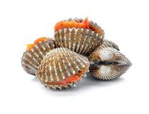 Fresh cockles seafood on white. Background Royalty Free Stock Images