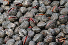 Fresh cockles with shells Royalty Free Stock Photo