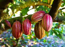 Fresh cocoa. Cocoa fruits on a farm in Belize Royalty Free Stock Images