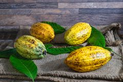 .Fresh cocoa fruit on brown sack royalty free stock photography