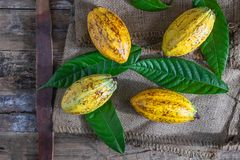 .Fresh cocoa fruit on brown sack stock images