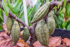Fresh cocoa fruit at cacao tree. stock images