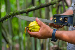 Fresh Cocoa fruit in farmers hands. Organic cacao fruit - healthy food. Cut of raw cocoa inside of the amazon rainforest Royalty Free Stock Photography