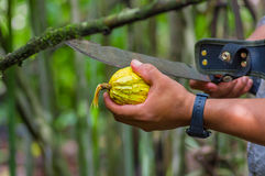 Fresh Cocoa fruit in farmers hands. Organic cacao fruit - healthy food. Cut of raw cocoa inside of the amazon rainforest. In Cuyabeno National Park in Ecuador Royalty Free Stock Image