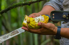 Fresh Cocoa fruit in farmers hands. Organic cacao fruit - healthy food. Cut of raw cocoa inside of the amazon rainforest Stock Photo