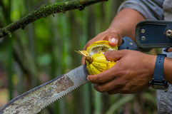 Fresh Cocoa fruit in farmers hands. Organic cacao fruit - healthy food. Cut of raw cocoa inside of the amazon rainforest. In Cuyabeno National Park in Ecuador Stock Photo