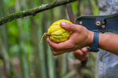 Fresh Cocoa fruit in farmers hands. Organic cacao fruit - healthy food. Cut of raw cocoa inside of the amazon rainforest Stock Photography