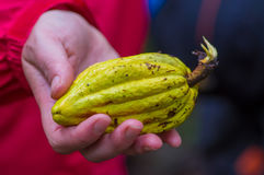 Fresh Cocoa fruit in farmers hands. Organic cacao fruit - healthy food, inside of the amazon rainforest in Cuyabeno Royalty Free Stock Images