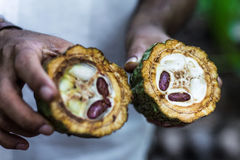 Fresh Cocoa fruit in farmers royalty free stock photo