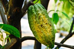 Fresh cocoa fruit on cocoa trees stock images