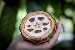 Fresh Cocoa fruit in a hand. Close up. Cut of raw cacao in Sri Lanka plantation.  Stock Images