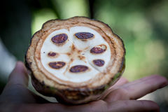 Fresh Cocoa fruit in a hand. Close up. Cut of raw cacao in Sri Lanka plantation.  Stock Photo