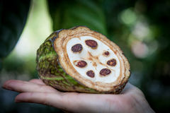 Fresh Cocoa fruit in a hand. Close up. Cut of raw cacao in Sri Lanka plantation.  Stock Photos