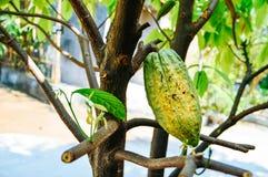 Fresh cocoa fruit on cocoa trees royalty free stock photos