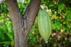 Fresh cocoa fruit on cocoa trees stock photo