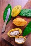 Fresh cocoa fruit royalty free stock photo
