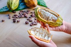 Fresh cocoa fruit on hand royalty free stock photos