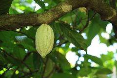 Fresh cocoa pods in growth. On the tree Royalty Free Stock Images