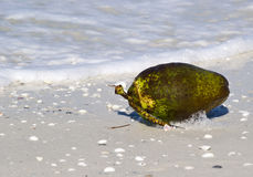 Fresh coconut on a beach. A fresh coconut resting on a tropical beach Royalty Free Stock Image
